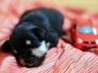 Изображение в Собаки и щенки Продажа собак, щенков Продаются щенки цвергшнауцера окраса черный в Москве 23000