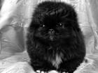 Изображение в Собаки и щенки Продажа собак, щенков Продаются малыши пекинесы, родились 16. 12. в Москве 0