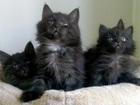 Фото в Кошки и котята Продажа кошек и котят Котята Курильские бобтейлы, родились 28. в Москве 12000