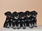 Фотография в   Предлагаем щенков цвергшнауцера окраса черный в Москве 450