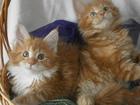 Изображение в   Предлагает чудных толстолапых котят, достойных в Москве 20000