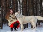 Фотография в Собаки и щенки Вязка собак голубоглазый блондин, ждёт невесту, несёт в Москве 5000