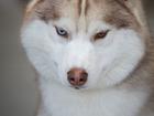 Свежее фото Вязка собак Шикарный кобель для вязки! 38871886 в Москве