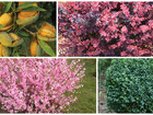 Увидеть фото  Саженцы плодовых деревьев и кустарники 38916450 в Волжске