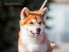 Изображение в Собаки и щенки Продажа собак, щенков 2 Девочки. Шикарные толстолапые Акиты в Японском в Москве 45000