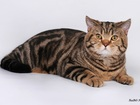 Изображение в Кошки и котята Вязка Шотландский прямоухий кот яркого черно-мраморного в Москве 3000