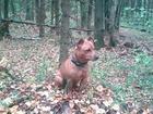 Фотография в Собаки и щенки Вязка собак МЕТИС Добрый, активный, хороший характер. в Москве 117449