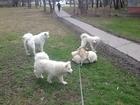 Скачать бесплатно фотографию Вязка собак Мопс кобель для вязки, 39076195 в Москве