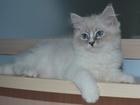 Фото в Кошки и котята Продажа кошек и котят Милая, очаровательная кошечка Ежевика. Характер в Москве 0