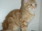 Изображение в Кошки и котята Продажа кошек и котят Предлагаем кошечек породы мейн кун 4 месяца. в Москве 12000