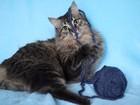 Фотография в   Знакомьтесь, перед Вами кот Семён – могуч, в Москве 0