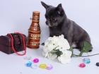 Новое фото Вязка собак Симпотичный голубой кобель приглашает на вязки 39979823 в Москве
