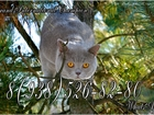 Скачать фото Вязка кошек Вязка с Британским котом (GICH) 40111008 в Москве