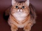 Скачать бесплатно фото  Золотой галантный кавалер для кошки 40448730 в Люберцы