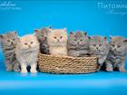 Просмотреть изображение Другие животные Британские длинношерстные котята низкая цена 42601398 в Москве