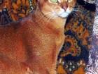 Уникальное фото Вязка кошек Вязка с абиссинским котом 52783462 в Москве