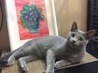 Скачать foto  Вязка с котом породы Русская Голубая 54197763 в Москве