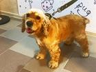Уникальное фотографию  Стрижка собак и кошек, купание любых пород, тримминг 56200683 в Ставрополе
