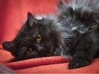Скачать foto  Огромный пушистый кот Дымка ищет дом! 63126867 в Москве