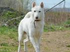 Свежее фотографию  Красивый белый пес Вайт ищет дом, 66547243 в Москве
