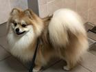 Скачать бесплатно foto Вязка собак Кобель малого немецкого шпица для вызки 67764811 в Москве