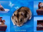 Новое фотографию  Домашние красавчики-хомячки с приданным 68186885 в Москве