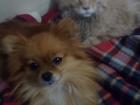 Увидеть фотографию Вязка собак Ищем срочно жениха для девочки померанского шпица 68358154 в Москве