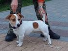 Скачать foto Вязка собак Шикарный кобель ищет невесту 68508202 в Москве