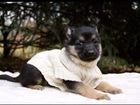 Скачать изображение  Чудесные щенки метисы овчарки в дар! 68548185 в Москве