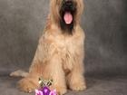 Смотреть фотографию Вязка собак Кобель ирландского мягкошерстного пшеничного терьера ищет подругу 68597217 в Москве