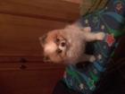 Скачать бесплатно изображение Вязка собак ХОЧУ СДЕЛАТЬ ВЯЗКУ ЗА ЩЕНКА 68636107 в Москве