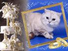 Увидеть изображение Вязка кошек ШОКОЛАДНЫЙ ТЕББИ ПОИНТ (СТРАЙТ) 68755925 в Москве