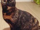 Свежее фото  Кошечка в добрые руки кошка даром бесплатно трехцветная счастье в дом 69002254 в Москве