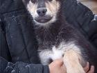 Увидеть фото  Очаровательный щенок Валет ищет дом, 69068598 в Москве