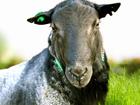 Просмотреть фото Другие животные Племенные бараны романовской породы 78419348 в Москве