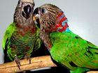 Смотреть изображение  Веерные попугаи - птенцы выкормыши 81389932 в Москве