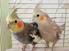 Скачать бесплатно фотографию  Попугаи корелла - птенцы выкормыши 81390004 в Москве