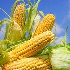 Семена кукурузы на силос и зерно крупным оптом