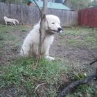 Маремма абруйкая овчарка щенки