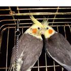Отдам попугаев