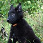 Продается щенок Бельгийской овчарки Грюнендаль