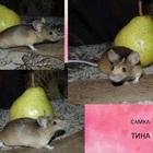 Мыши декоративные,сатиновые,голые(сфинксы), Колесо беговое