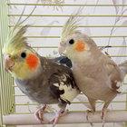 Попугаи корелла - птенцы выкормыши