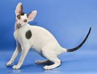 Котята корниш-рекс Корниш-рекс котят предлагает питомник Cornelian (Москва).   П