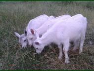 Продам козочек Продаются белые комолые козочки. Очень ласковые и жизнерадостные