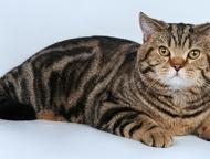 Шотландец чемпион приглашает на вязку Шотландский прямоухий кот яркого черно-мра