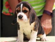 Продаются щенки породы Бигль питомника Bravo Vista РКФ-FCI Продаются щенки пород