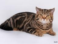 Шотландец чемпион приглашает на вязку Шотландский короткошерстный кот Томатин че