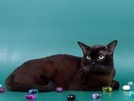 Вязка-Бурманский кот Предлагаем для вязки-Бурманского клубного кота соболиного о