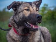 Крупная собака Кьяра в добрые руки Красавице Кьяре около года. Здорова, привита,